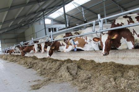 Stal met koeien