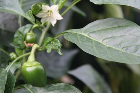 Paprika in bloei