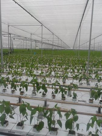 Nieuwe paprikaplanten